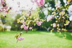 Belles fleurs de fleurs de cerisier images stock