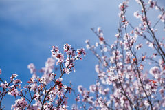 Belles fleurs de cerisier et ciel bleu Thème de source Image stock