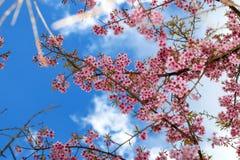 Belles fleurs de cerisier, fleur rose Images stock