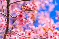 Belles fleurs de cerisier ou Sakura avec le ciel bleu gentil image libre de droits