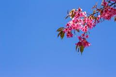 Belles fleurs de cerisier ou Sakura avec le ciel bleu gentil photo libre de droits