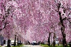 Belles fleurs de cerisier pleurantes de Kitakata photographie stock