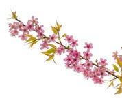 Belles fleurs de cerisier roses Image libre de droits