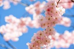 Belles fleurs de cerisier roses devant un ciel bleu photographie stock libre de droits