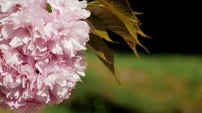 Belles fleurs de cerisier roses de floraison dans le jardin japonais banque de vidéos