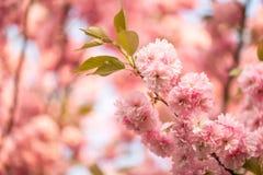 Belles fleurs de cerisier Sakura Images stock