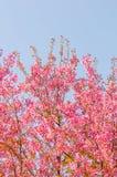 Belles fleurs de cerisier (Sakura), Chiang Mai, Thaïlande Images libres de droits
