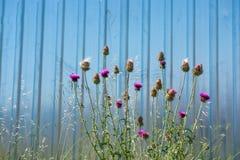 Belles fleurs de chardon en nature photographie stock libre de droits