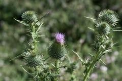 Belles fleurs de chardon en nature photo stock