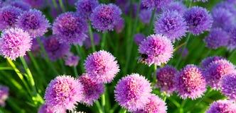 Belles fleurs de ciboulette Photo stock