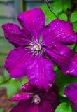 Belles fleurs de clématite pourpre de brigth dans le jardin après la pluie image libre de droits