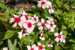 Belles fleurs de cosmos Photos stock