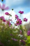 Belles fleurs de cosmos Photo stock