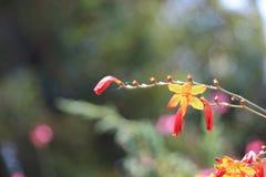 Belles fleurs de Crocosmia en nature photographie stock