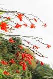 Belles fleurs de Crocosmia en nature image libre de droits