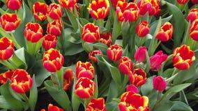 Belles fleurs de floraison balan?ant dans le vent Fin vers le haut Mouvement lent Fond cin?matographique calme de nature banque de vidéos