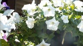 Belles fleurs de floraison d'été de pétunia clips vidéos