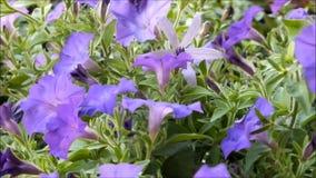 Belles fleurs de floraison d'été de pétunia banque de vidéos