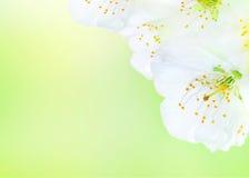 Belles fleurs de floraison de source Photo libre de droits