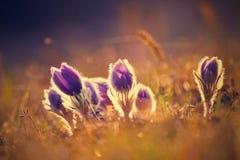 Belles fleurs de floraison de source Fond brouillé coloré naturel (Pasque Flowers - grandis de Pulsatilla) Photos libres de droits