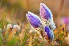 Belles fleurs de floraison de source Fond brouillé coloré naturel (Pasque Flowers - grandis de Pulsatilla) Image stock
