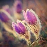 Belles fleurs de floraison de source Fond brouillé coloré naturel (Pasque Flowers - grandis de Pulsatilla) Photographie stock libre de droits