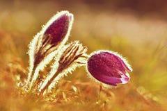 Belles fleurs de floraison de source Fond brouillé coloré naturel (Pasque Flowers - grandis de Pulsatilla) Images stock