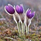 Belles fleurs de floraison de source Fond brouillé coloré naturel (Pasque Flowers - grandis de Pulsatilla) Photo libre de droits