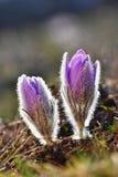 Belles fleurs de floraison de source Fond brouillé coloré naturel (Pasque Flowers - grandis de Pulsatilla) Image libre de droits