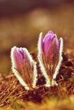 Belles fleurs de floraison de source Fond brouillé coloré naturel (Pasque Flowers - grandis de Pulsatilla) Photographie stock