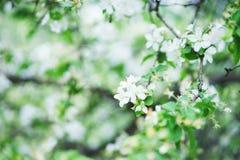 Belles fleurs de floraison des pommiers en parc image libre de droits