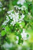 Belles fleurs de floraison des pommiers en parc photos libres de droits