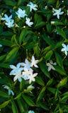Belles fleurs de gardénia Photos libres de droits
