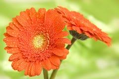 Belles fleurs de gerbera Images libres de droits