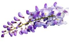 Belles fleurs de glycine d'isolement. Sur le fond blanc photographie stock libre de droits