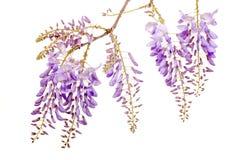 Belles fleurs de glycines image libre de droits