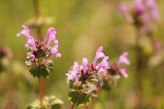 belles fleurs de henbit Photographie stock