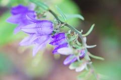 Belles fleurs de jacinthe des bois avec la profondeur du champ courte Photos stock