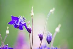 Belles fleurs de jacinthe des bois avec le fond trouble Image stock