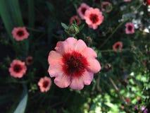 Belles fleurs de jardin dans un paleite rouge-rose photographie stock