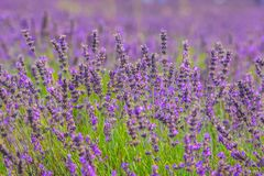 Belles fleurs de lavande dans les fermes photo stock