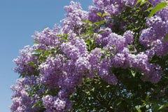 Belles fleurs de lilas photographie stock