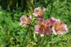 Belles fleurs de lis en nature photographie stock