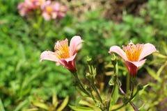 Belles fleurs de lis en nature images stock