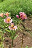 Belles fleurs de lis en nature photo stock