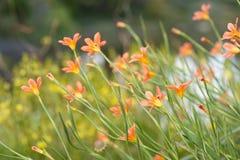 Belles fleurs de lis par un étang Photo stock