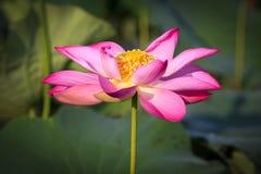 Belles fleurs de lotus Photo stock