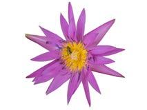 Belles fleurs de lotus pourpres et le bourgeon image libre de droits