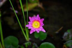 Belles fleurs de lotus pourpres naturelles images stock