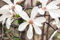 Belles fleurs de magnolia Image stock